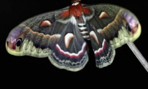 Gamtos stebuklai – lėliukė virsta drugeliu [video]