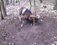 Kaip bėgikas išgelbėjo mufloną (laukinį aviną). Video