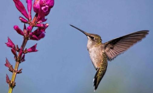 Kolibrio lizdas – tiesioginė transliacija