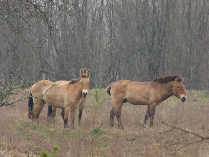 Prževalskio arkliai
