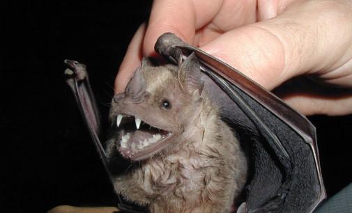 Šikšnosparniai – vampyrai