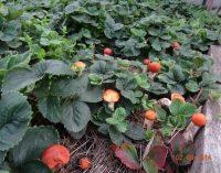 Kaip sėti ir auginti grybus?