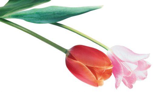 Tulpių krizė. Kaip gėlė nugramzdino šalį į bedugnę