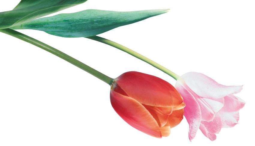 Tulpių krizė