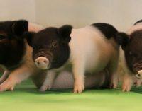 GMO kiaulės – organų donorai žmogui