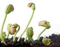 Sėklų įvairovės ateitis – jas auginančių rankose