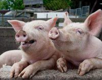 Specialistai užtikrina – AKM neturi įtakos kiaulienos kokybei ir saugumui. Tačiau sergančias kiaules naikinti reikia