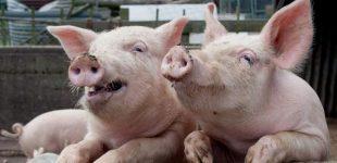 """ES pateiks Rusijai sąskaitą už """"politiškai motyvuotą"""" kiaulienos embargą"""