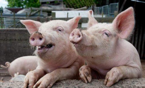 Nustatyti dar du afrikinio kiaulių maro židiniai kiaulių laikymo vietose