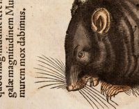 Juodoji mirtis Europoje buvo platinama žmonių, o ne žiurkių