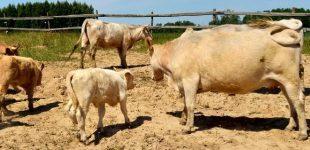 Latvijos ūkininkai masiškai pjauna gyvulius, dėl sausros nebeturėdami kuo jų šerti
