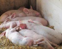 Afrikinis kiaulių maras pasiekė Kiniją