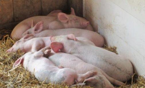 Afrikinis kiaulių maras. Lietuvoje šią savaitę nustatyti dar du AKM židiniai