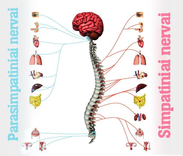 Vaistininkė pataria, kaip sustiprinti nervų sistemą - DELFI Sveikata