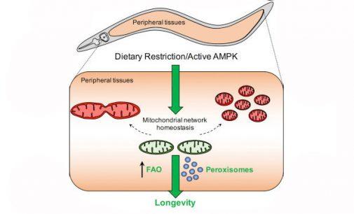 Badavimas daro įtaką  ląstelių senėjimui