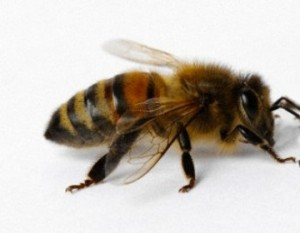 paveikslėlis - bitė