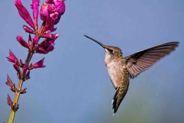 kolibris - paveikslėlis