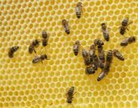 Bitės miršta milijonais