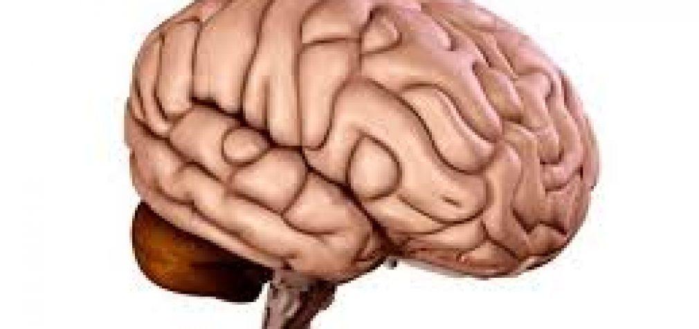Smegenys – tingumo etalonas