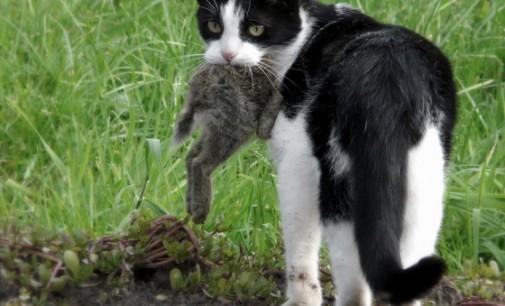 Australija pripažino kates kenkėjomis ir paskelbė joms karą