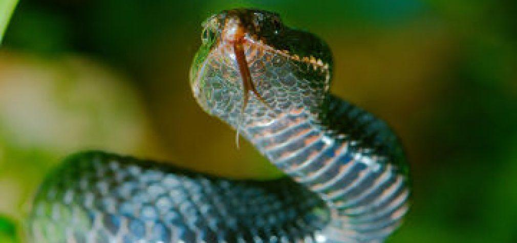 Liaudies priemonė nuo gyvatės įkandimo – dar vienas mitas?