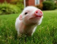 Visa tiesa apie kiaules – tai mes jas tokiomis padarėme