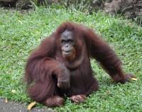 Beždžionių apologetas