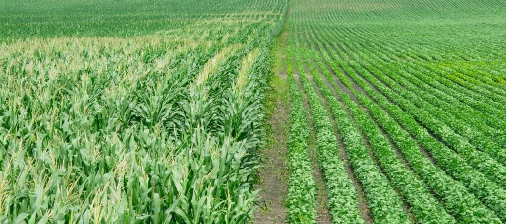 Kukurūzai ir soja