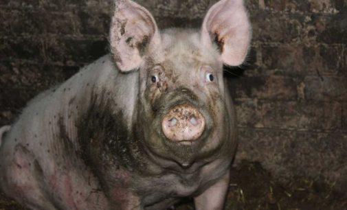 Dėl afrikinio kiaulių maro Jonavos rajone metus laiko draudžiama laikyti kiaules
