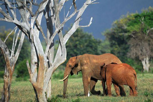 dramblių šeimyna