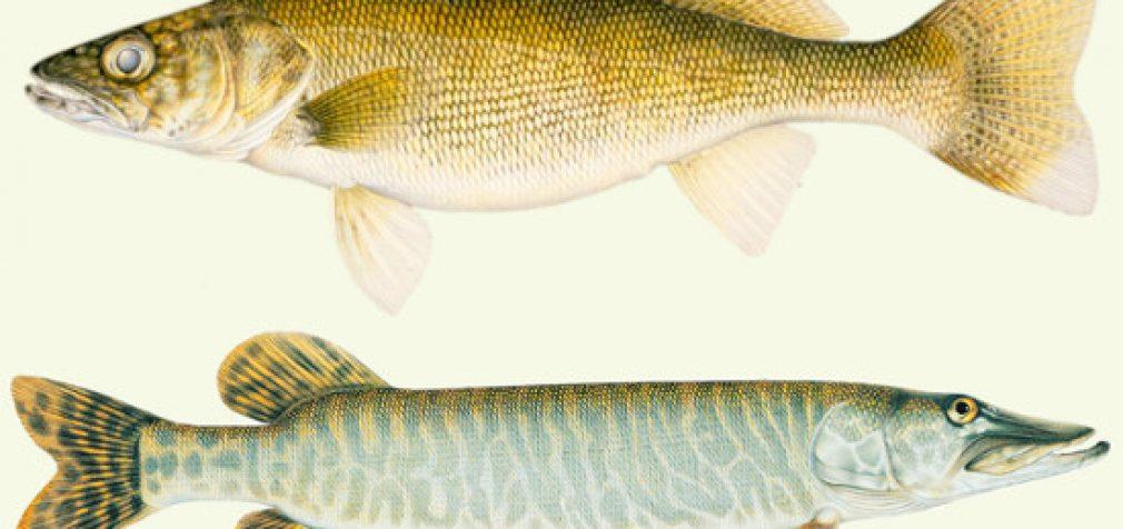 Artimiausiu metu prasidės žuvų įveisimas Lietuvos vidaus vandenyse iš Aplinkos apsaugos rėmimo programos lėšų