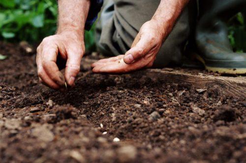 sodinimas sėjimas