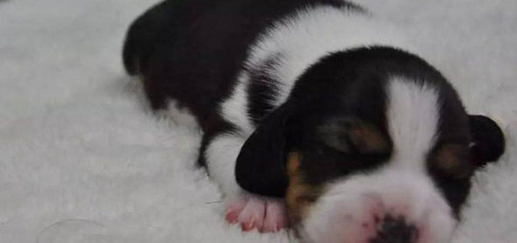 Super-raumeningi šunys iš mėgintuvėlio: Kinija atveria antžmogių kūrimo genų technologiją
