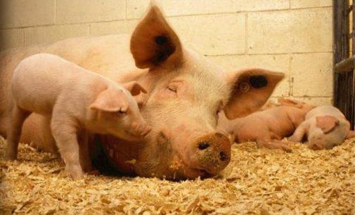 Ūkininkai gali kreiptis į savivaldybes dėl 100 €u išmokos už kiekvieną paskerstą dėl AKM kiaulę