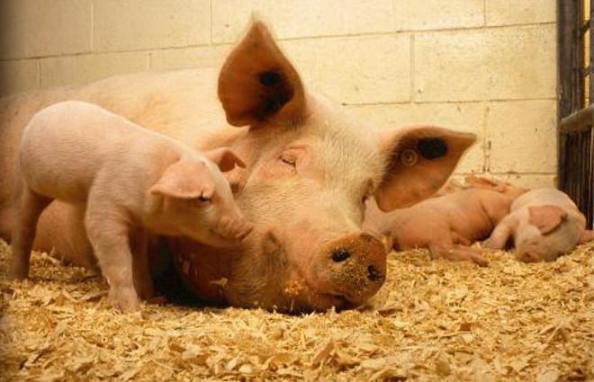 Kiaulės | nuotr: vmvt.lt
