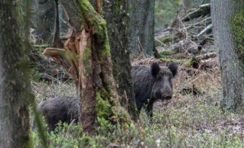 Afrikinis kiaulių maras Lietuvoje per savaitę