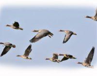 VMVT rekomenduoja rudeninės paukščių migracijos metu saugoti paukščių gripo