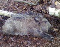 VMVT – afrikinis kiaulių maras nustatytas ir Belgijoje