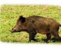 Afrikinis kiaulių maras ūkiams kelia vis didesnę grėsmę, praneša VMVT