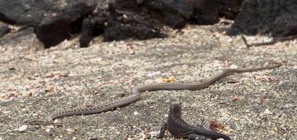 Iguana ir gyvatės – išsigelbėjimas