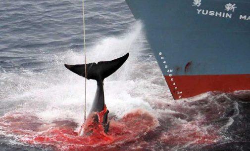 Japonija paskelbė atnaujinanti banginių žudymą