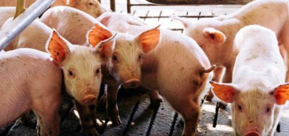 Marijampolės ir Šakių rajonų kiaulių ūkiams įtemptas metas – atsirado dar vienas AKM židinys