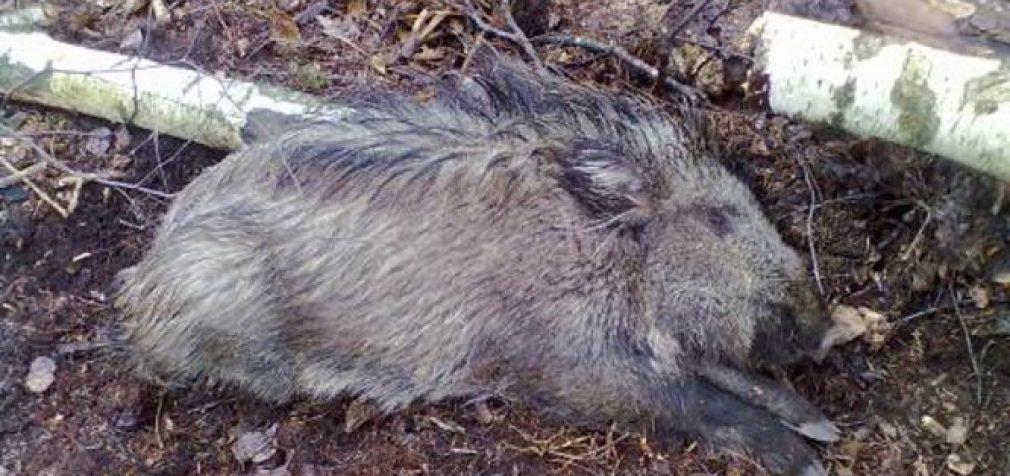 Per savaitę afrikinis kiaulių maras  diagnozuotas 18 šernų