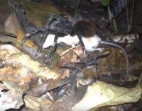 Mokslininkai nufilmavo oposumą ėdantį gigantišką vorą