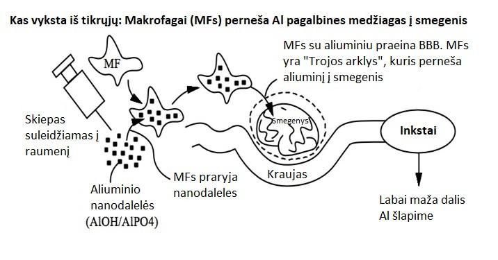 Kas vyksta iš tikrųjų: Makrofagai perneša Al pagalbines medžiagas į semegenis