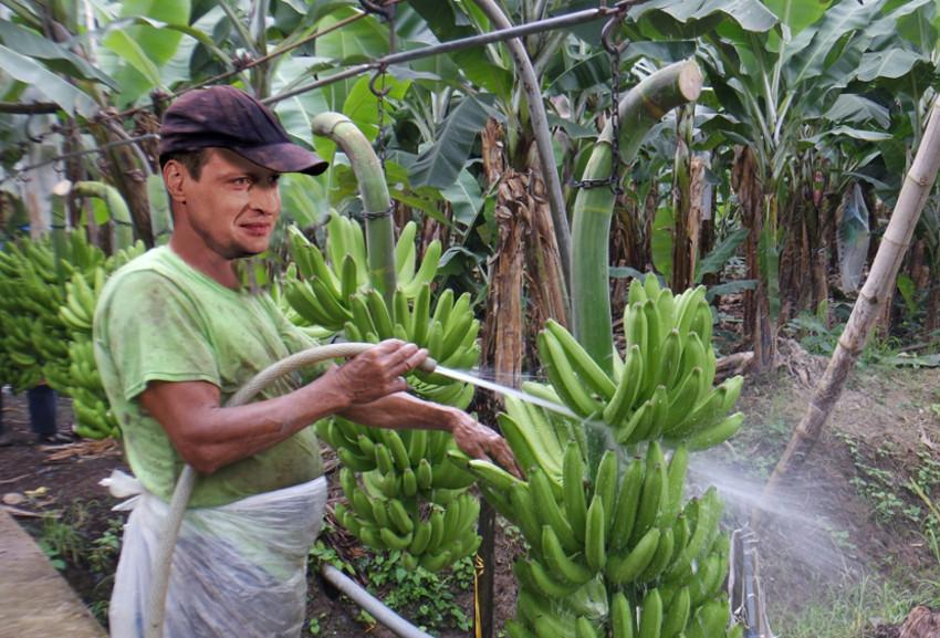 Kęstutis Mažeika ir bananai