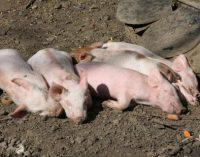 Afrikinis kiaulių maras. Ūkyje bus nugaišinta daugiau kaip 50 kiaulių