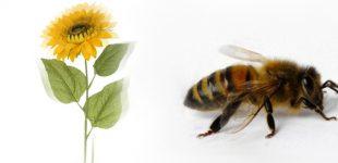 Organinė žemdirbystė naudinga bitėms