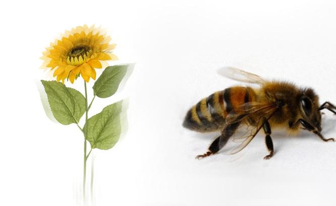 Bitė ir Saulėgrąža