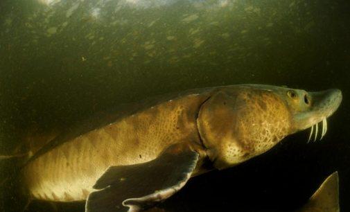 Per 50 metų žmogus išnaikino beveik 90% stambių upių ir ežerų gyvūnų